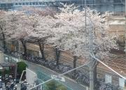 tobasu-sakura060328-2
