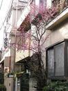 kiyokawa_no_ume2